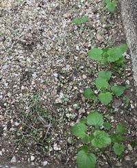 これは何の芽ですか?  コキアを植えている花壇にたくさんの芽がでていました。 コキアから種が落ちたのかなと思っていたのですがネットでコキアの芽を調べると全く違う写真が出てきたので正体不明となってしましました。 花壇にはコキアしか植えてないです。 どなたかわかりますか?