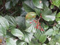 千葉県ですが、今日の散歩で見かけたこの赤い実は何でしょうか? 大きさはナンテンやセンリョウなどの半分程度でした。