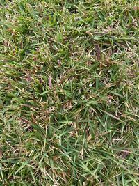 芝生 TM9が一部赤紫色に変色してきました。隣に植えている通常の高麗芝と比べると色が悪く気になっております。 TM9特有の症状でしょうか?それとも病気でしょうか? よろしくお願いします。