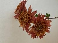 頂いたキクの切り花が可愛くて、品種名を知りたいです キクにはとても多くの品種があると聞くので、全く同じではなく似たような品種の名前でも構いません スプレー菊系だとは思うのですが、、、
