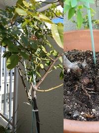 我が家のベランダのカクテルなんですが、植え替えはおそらく4、5年前で全くシュートがでません。 12月頃に植え替えと剪定をしようと思っているのですが木質化しているところばかりで剪定する場所が全くわかりません。剪定方法を教えていただけませんでしょうか。