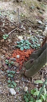 なにか生き物のフンでしょうか?画像があります。ブルーベリーの木の根元に、茶色く小さい俵型のつぶつぶが盛ってありました。フンか、他のもの(肥料、餌、など)かわかるかたはいらっしゃいますか?家族はこのよう な肥料をまいたことはありません。これまでも、たまにブルーベリーの木の根元にありました。 よろしくお願いします。