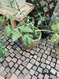 この植物の育て方を教えてください。 植物を買うときに花を切る必要があると言われましたが、花なんて出ません。これは、やつでというくさですか?