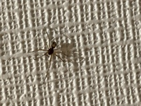 蜘蛛なんですが家の洗面所の壁いたんですが 危険な蜘蛛でしょうか? どなたか教えてください。 よろしくお願いします。