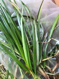 花壇に沢山繁ってきた雑草?名前あるいは花などわかりましたらよろしくお願いします、葉っぱは細く光沢があり、ススキのように手が切れる感じではなく、柔らかい、大きいもので30から50cmぐらいです、地下茎でつなが っているようでもあります