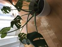 モンステラに元気がありません。 土が乾いたら水やりをしてますが、鉢が小さいのでしょうか? 寒い今の季節に鉢は変えない方がいいですよね? 観葉植物に詳しくないので、ご意見いただけると助かります。