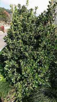 樹木名がわかりません。 常緑樹高さ2mです。 お願いします。