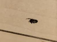 虫に詳しい方お願いいたします。  先日より玄関に写真のような虫が出るのですが、この虫の名前はなんと言うのでしょうか……? また、この虫は階段の隙間などから入ってくることはあるのでしょうか?