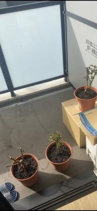 日当たりの悪いベランダでのバラ栽培の対策を教えてください。最近一人暮らしを初めて長年の夢だった鉢バラ栽培を始めました。 しっかり勉強したつもりで道具を揃え、今年の秋大苗を3つお迎えしました。しかし一つ重大なミスを冒したことに気付いてしまいました。自分は今マンションに暮らしているのですが、ベランダが北西を向いていて午前中はほとんど日が射しません。11時頃から少しずつ日が差し始め、午後からベラン...