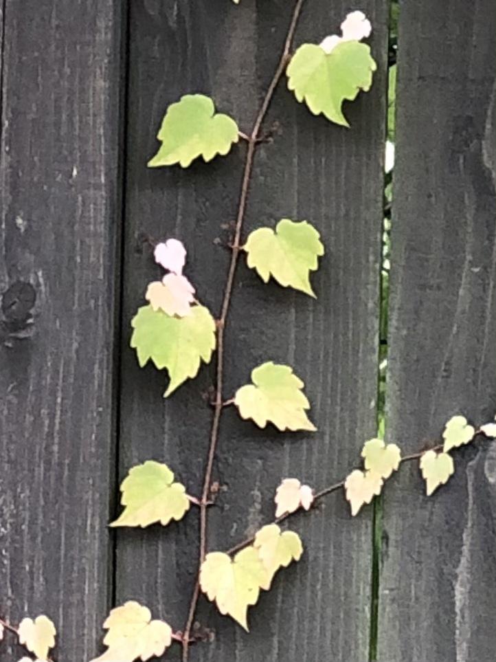 壁にあるこの植物の名前を教えてください