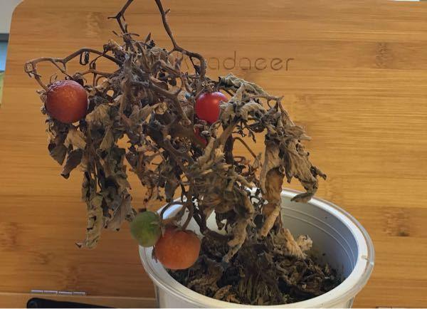 このトマトはもう水あげても復活するのは難しいですか?