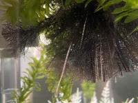 ホテイアオイ 水草 について質問です。  一昨日買ってきました。 根っこが異常に長かったので切って水に入れたのですが、 先っぽのところに気泡のような小さいプツプツを含んだ透明な膜ができました。  全てにできているわけではありません。  水槽には、ミナミヌマエビ、メダカ、タニシが居ます。
