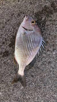 この魚はクロダイですか?はじめて釣りました。食べれますか?