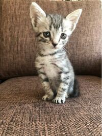 捨てられていた子猫の里親になったのですが、この子はサバトラでしょうか❓色んな画像を見てますと、子猫の時はキジトラもサバトラに見えてしまい判断がつかなくて。