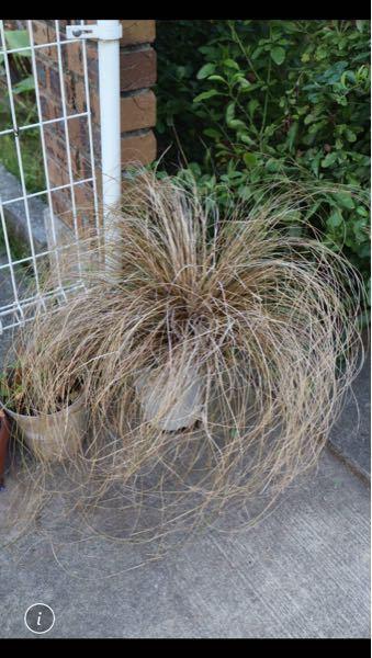 カレックスこの鉢このまま春まで置いておきたいのですが、これをくれた友人は、 これは鉢が小さいのですぐに地面に下ろして。 このままだと土が少ないから苦しくて枯れる可能性がある。 根もまわってぎち...