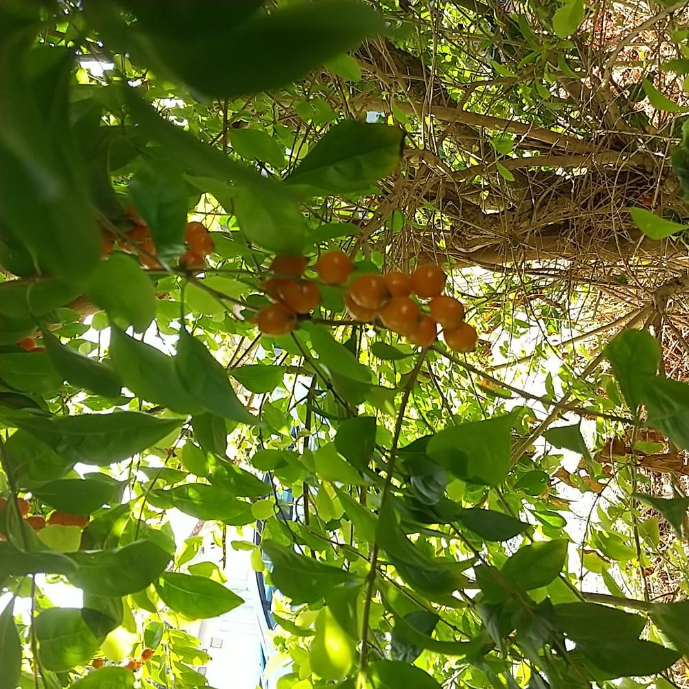 沖縄で見つけました。 この木の実の木は何でしょうか?