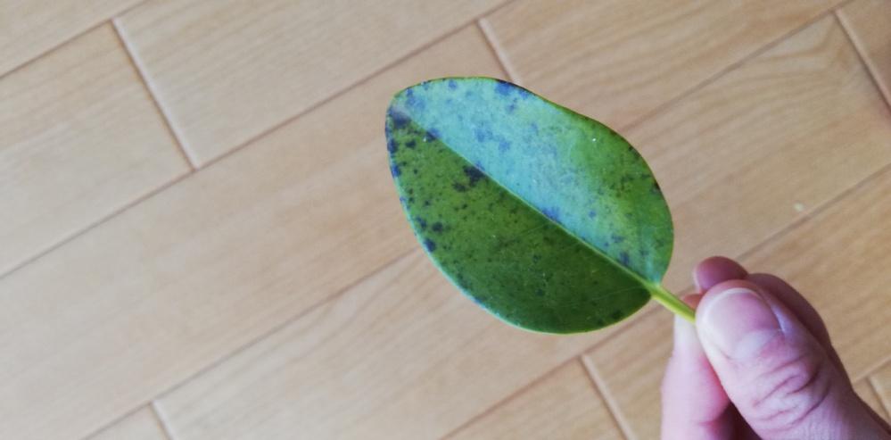 室内で育てているフランスゴムの木の葉っぱがポロポロと落ちてくるようになりました。 光が水、栄養の不足か最近寒くなってきたので室温なのか…それか病気とか… 原因は何でしょうか? 落ちた葉っぱの写...