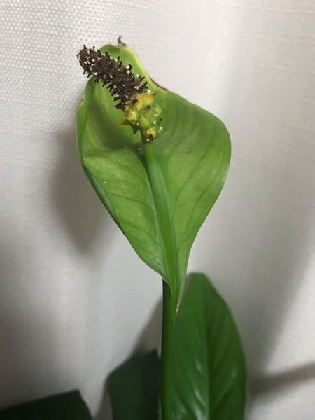 スパティフィラムという植物をいただいたんですけど花が咲かずに写真のように茶色くなっているところがあります。これは枯れてしまってるんでしょうか?