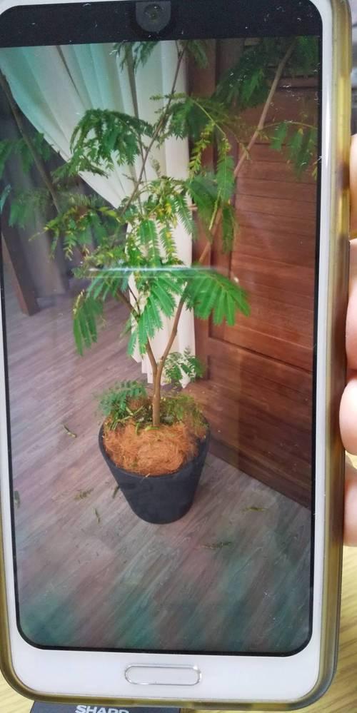 どうして葉が落ちてしまうのでしょうか?会社の休憩室に置いてあります。 ちょっと植物に詳しくないので。