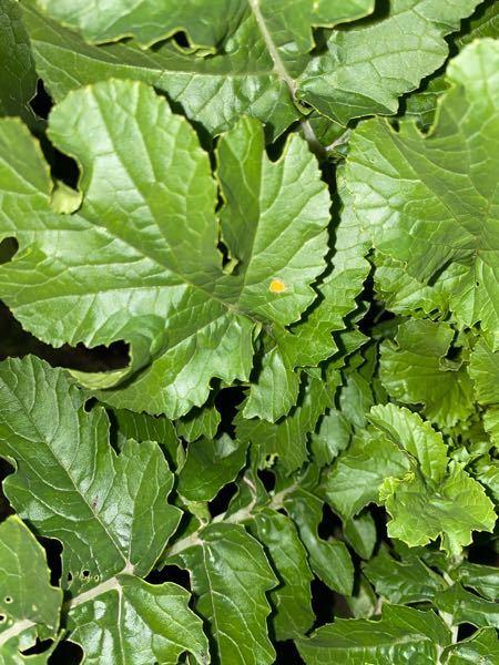 何かの病気ですか?大根の葉です。黄色く天がついています。 病気の場合、 ①葉を食べていいか ②この葉に留まらず他に移るか ③殺虫方法 を教えてください