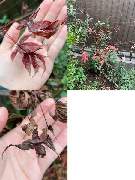 植えていた紅葉の葉っぱが白っぽくなってきて、続々落ちてしまいました。残っている葉っぱもありますが、これは病気でしょうか? また、ここから復活させる方法はあるでしょうか? よろしくお願いします。