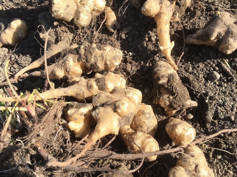 今日、畑で草取りをしていたら、芋のようなものがたくさん、地中から出てきました。 ネットで検索すると、菊芋、かと思うのですが、これは菊芋でしょうか?