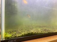 水槽が藻だらけで濁って困っています。 写真のような緑色の藻が水槽に発生しています。 一度水槽をリセットしたり、gexの苔を抑える薬品などを使っても一向に無くなりません。 対処方法を教えてください。よろしくお願い致します。