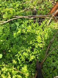 この植物は何でしょうか? にんじんの葉みたいな形で群生しています。