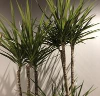 観葉植物の名前がわかりません。 ご存知の方がいましたら教えてください。あと、育て方も教えていただければ助かります。よろしくお願いします。