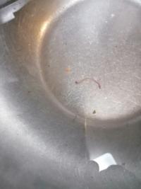 レタスについていた赤い虫なんですがなんの虫か分かりますか? 調べると血を吸わないヒルと出たんですが正しいですか?