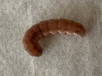 ベランダにいました。赤茶色の芋虫です。 これは何のイモムシでしょうか? ベランダにはたくさんの植木鉢が置いてあります。 ご存じの方は教えて下さい。 宜しくお願いします。