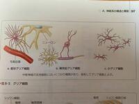 中枢神経系の支持細胞をまとめてグリア細胞と呼ぶ と教科書に書いてありますが、ネットで調べると末梢神経系のシュワン細胞や外套細胞もグリア細胞と書いてあります。  支持組織をまとめてグリア細胞と呼ぶのか ...