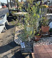 ホームセンターの外によく植物の鉢売りが並んでますが、ホームセンターによって植物にとても差があるように思います。なんかの資格がある方ではなく、そこを管理している方は植物を知っているくらいの方でも管理者に なるのでしょうか? 今日行ったホームセンターがあまりにもセンスがよく、樹形もきれいに整えられていて、花もこの時期もう終わり頃の花までかなり綺麗に管理されていてびっくりしました。 大変なお仕事な...