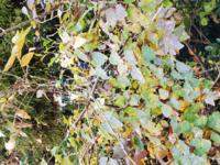 雑木林で小さなブドウのような実がなっていました。何の植物かわかるかたいますか?