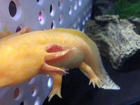 ウーパールーパーの白いブツブツ こんばんは。 ウーパールーパーを飼い始めて約半年です。 ウーパールーパーの体側に白いブツブツができていました。 背中にも僅かにホワホワとしたものがあります。  これは水カビなのでしょうか?  数週間かえ多頭飼いを始めたので、それも要因でしょうか(TT) 水換えは週1~2回ほどしています。 餌は赤虫を1キューブずつ与えています。  おわかりになる方、回答いただけ...