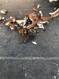 蜂の種類が分かりません、わかる方教えてください