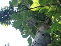 この樹木の名前を知りたいです! 樹皮の割れが激しく、特徴的な葉っぱなので調べたらすぐヒットするかなと思いきや全然そんなことなくて困ってます。 7月下旬に街中で撮影。 詳しい方、教えていただけると嬉しいです。
