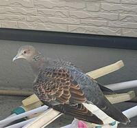 片方の羽を怪我(骨折?)した鳩の保護について質問です。エサや巣の作り方、糞など、どのような対処が適切か教えていただけないでしょうか? 2日前の夜にベランダで羽を骨折して飛べない状態の鳩(たぶんキジバト)を発見し保護しました。 鳥の保護の仕方など分からないので鳥獣救護センターというのに連絡しましたが、年末年始のため繋がりませんでした。動物病院へは行っていません。  片方の羽の真ん中辺りが折れて...