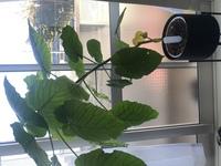 観葉植物に詳しい方教えてください(;_;) 2年ほど前にまだ背丈の低いウンベラータを購入して現在、写真のように大きくなったのですが、葉の重さで重心が傾いてしまいました。゚(゚´ω`゚)゚。  色々調べてみたら剪...