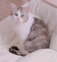 猫にはサビ猫やキジトラ猫や茶トラ猫など柄によって呼び方がありますがこの子はなんて柄なのでしょう? ※ 我が家の猫(雑種)です