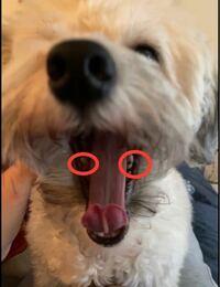犬の歯の汚れについて質問です。 毎日、愛犬に歯磨きをしていますが、 しっかり隅々まで磨けてるかというと自信がありません。  今月で2歳になるのですが、 この画像の○をつけた部分の歯の、 溝の部分が茶色になってます。  この溝の部分はどうしてもいつも歯ブラシを当てることができません。  愛犬は、歯ブラシを口に入れられることには慣れましたが、手で口を触られるのは嫌がるため、 いつも歯ブラシを適当...