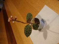 ジャエルオーキットをはじめて育てているのですが、水は毎日あげたほうがいいんでしょうか? 花がつぼみでついているのですが、葉が弱ってきたらどのあたりでカットしたらいいですか?
