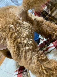 トイプードル1歳3ヶ月 おしり部分の毛がアプリコットになってるのですが別に病気とかではないですよね??トイプードルはみんな脱色するのでしょうか? 飼った時は全体がもっと濃いめのレッドでした。