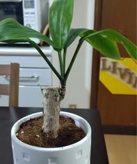 yuk********さん  2021/1/11 7:56 こんにちわ。 最近100均の観葉植物シリーズにはまっていて、パキラとこちらの植物、シルクジャスミンを購入しました。 こちらの植物にはお名前がなく、何と言う植物なのか気にな...