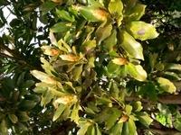 沖縄本島南部の農道沿いに生えています。 3mくらいの木で、つぼみが沢山出来てます。 樹木の名前を教えてください。