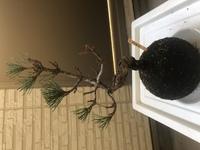 五葉松の苔玉盆栽を11月ごろから育てているのですが、12月ごろから調子が悪くなり葉が 茶色くなり落ちてしまい写真のような状態になってしまいました。 部屋の中に置いてしまっていたため乾燥と日照不足によるものかと思われます。 水やりは今まで3日に一度苔玉が乾いてきた頃に行っています。  この状態から復活することはあるのでしょうか?