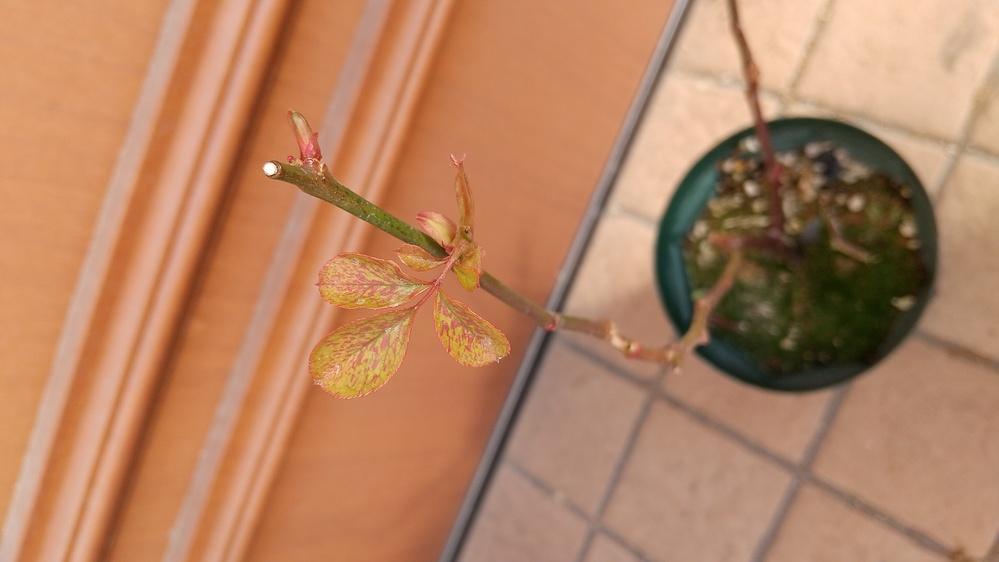 いつもお世話になります。 先日から氷点下の日が続きやっと少し寒さも緩んだので庭に出ると、薔薇の新芽が1鉢のみ赤い斑の出たおかしいものがありました。 これは病気でしょうか、生理現象でしょうか?? ど