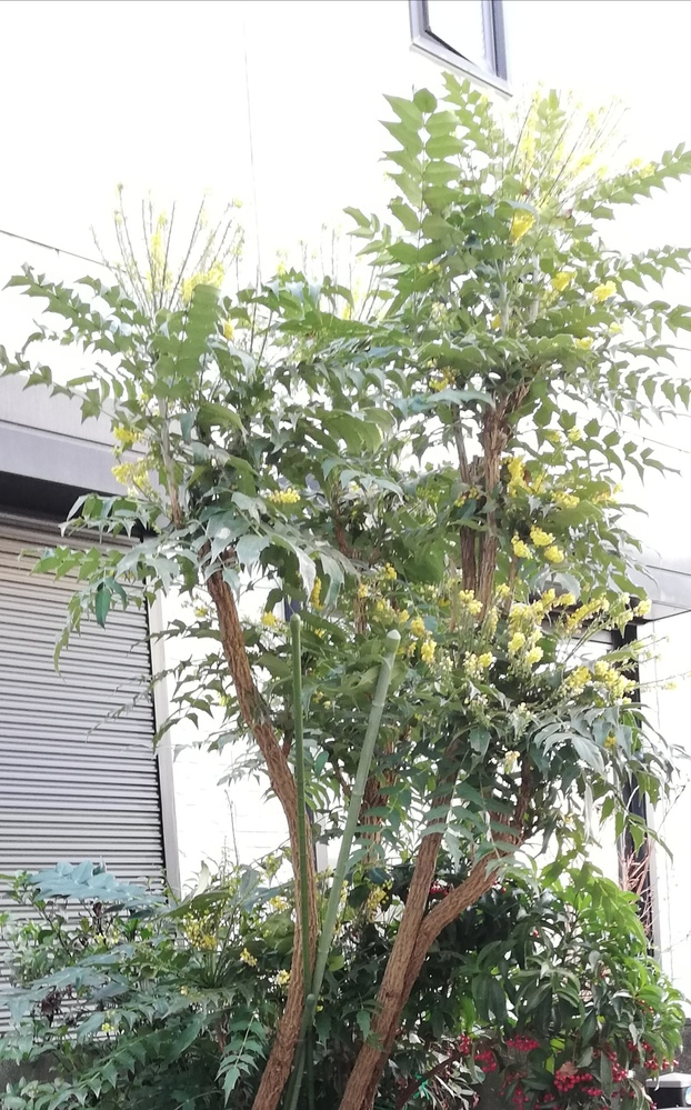 庭の花壇に生えている木について、名前が知りたいです。 太い木に、トゲトゲの葉っぱと、冬に黄色い花がたくさん咲いています。 放置していたら高く伸びてしまい 毒があるらしいので少し切ろうと思うのです...