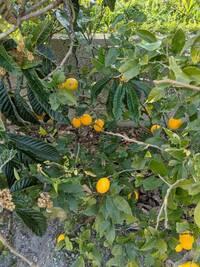 この果実の名前わかる方いますか? 匂いはレモンぽくて味も酸っぱいです。見た目はレモンほどゴツゴツしておらずまるっとしてます。あと木の枝にトゲがなくて父はレモンじゃないと言っています。