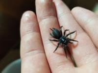この蜘蛛の名前わかりますか? 南西諸島の山で地面を歩いていました。ジグモかトタテグモの仲間だと思ったのですがいまいちしっくり来ません。お願いします ♂️